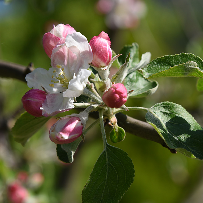 Obstblüte